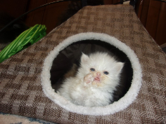 SOLD Teacup White Persian Male SOLD