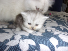 SOLD Teacup Silver Shaded Persian Female SOLD