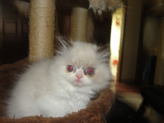 SOLD Blue Point Himalayan Female with White SOLD