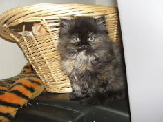 SOLD Tortoiseshell Female Persian SOLD