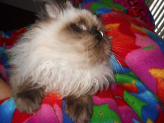 SOLD Seal Point Himalayan Male SOLD