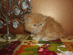 SOLD Redd Tabby Male SOLD