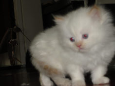 SOLD Flame Point Himalayan Male SOLD
