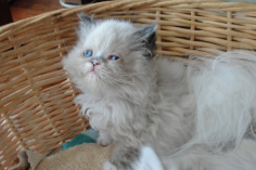 SOLD Calico Himalayan Female SOLD