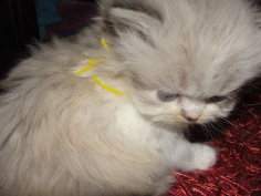 SOLDS Chocolate Lynx Point Himalayan Female with White SOLD