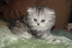 Silver Shaded Teacup Female