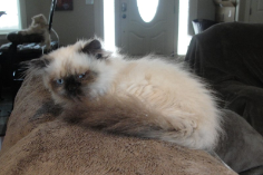 SOLD Teacup Chocolate Pt Himalayan Male SOLD