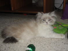 SOLD Chocolate Lynx Point Himalayan Female with White SOLD