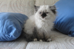 SOLD Seal Point  Tortie Teacup Himalayan Female SOLD