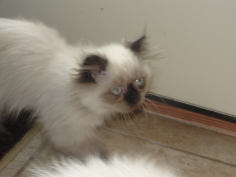 Seal Point Teacup Himalayan Female