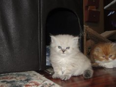 SOLD Seal Lynx Pt Himalayan Female SOLD