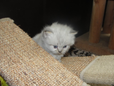 SOLD Blue Lynx Pt Himalayan Male SOLD