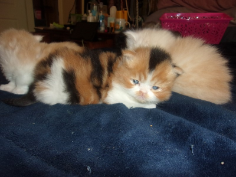 SOLD Calico  Female SOLD