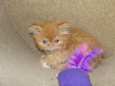SOLD Teacup Red Tabby Male SOLD
