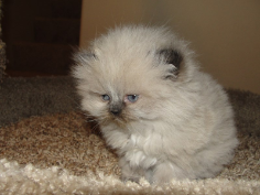SOLD Seal Point Himalayan Female SOLD