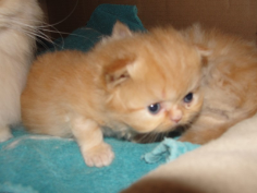SOLD Teacup Red  Male Persian SOLD