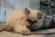 Seal Tortie Point Himalayan Female
