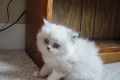 SOLD Blue Pt Himalayan with White  Female SOLD