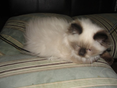 SOLD Seal Point Himalayan Teacup Male SOLD