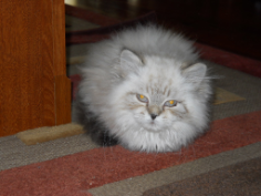 SOLD Lynx Point Himalayan Male SOLD