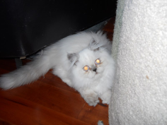 SOLD Silver Point Himalayan Male SOLD