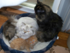 Persian Cats For Sale