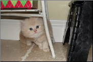 Cream Persian Female
