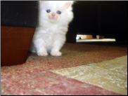 White Persian Female