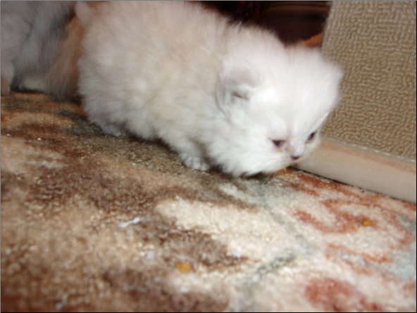 SOLD Lilac Point Himalayan FemaleSOLD