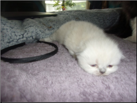 SOLD Blue Point Himalayan Female SOLD (SKU: Duchess of Windsor)
