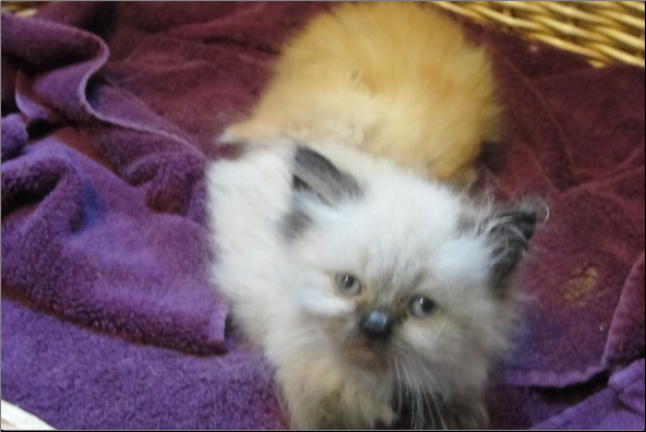 SOLD Blue Point Himalayan Male SOLD