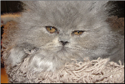 Blue Shaded Teacup Female Persian