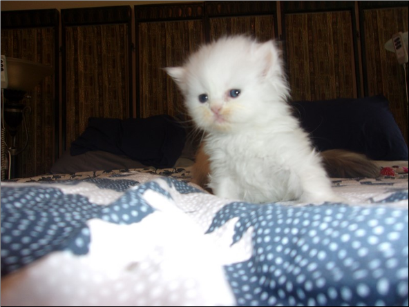 SOLD Copper Eyed White Persian Male SOLD