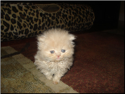 Cream Teacup Persian Female