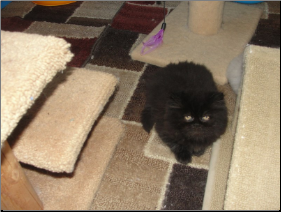 Black Persian Female (SKU: Flower)