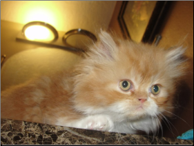 SOLD Red and White Bi-Color Persian Male SOLD (SKU: Frack)