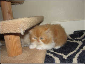 Red and White Bi-Color Persian Male (SKU: Frick)