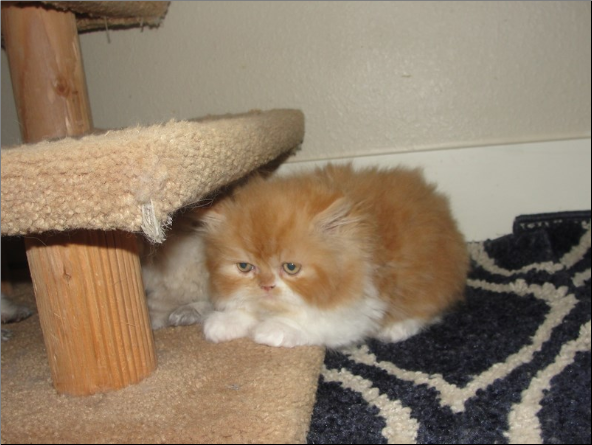SOLD Red and White Bi-Color Persian Male SOLD