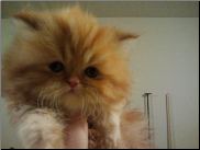 Teacup Red Persian Male