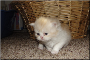 Red and White Bi-Color Persian Female