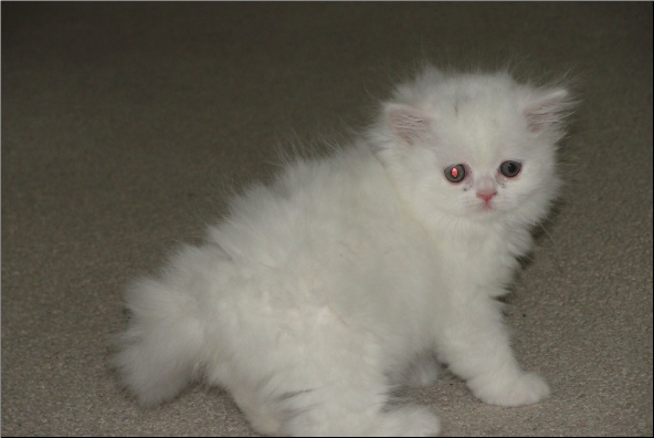Copper Eyed White Persian Female