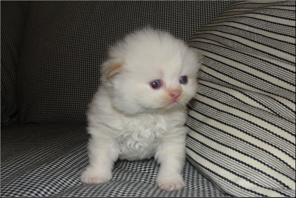 Teacup Flame Point Himalayan Male