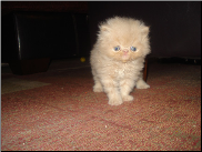 Cream Teacup Persian Male