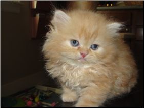 SOLD Red Male Persian SOLD (SKU: Myrrh-n-Purr)