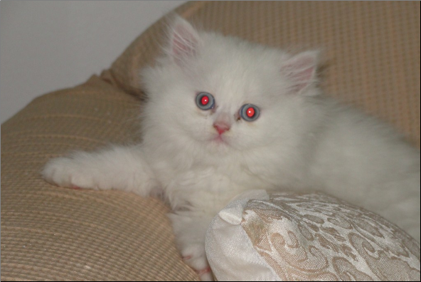 Odd  Eyed White Persian Female