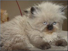 SOLD Seal Point  Himalayan Male SOLD (SKU: Peaceful)