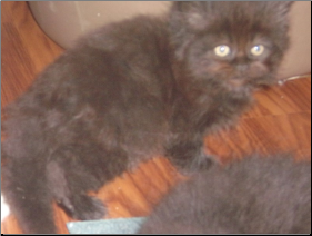 SOLD Black Persian Male SOLD (SKU: Reprive)