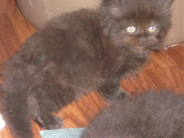 SOLD Black Persian Male SOLD