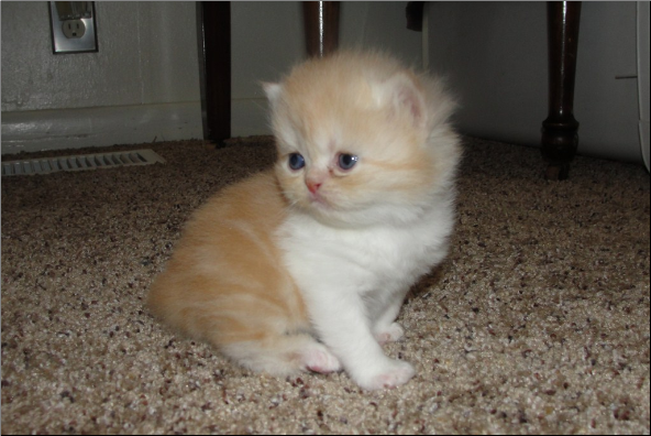 Red and White Bi-Color Persian Male