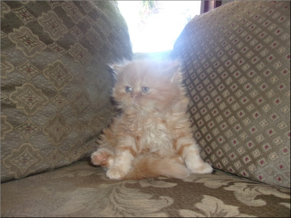 SOLD Red Persian Male SOLD